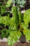 黄色有机生长在庭院里的茎瑞士牛皮菜 图库摄影