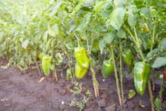 绿色有机胡椒在庭院里 免版税库存照片
