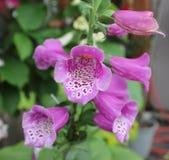 紫色有污点的毛地黄属植物 图库摄影