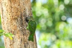 绿色有耳的热带巨嘴鸟 免版税库存图片