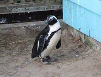 2黑色有脚的企鹅 免版税库存图片