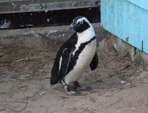 2黑色有脚的企鹅 库存图片