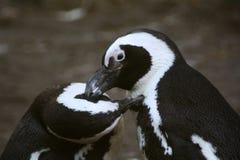 黑色有脚的企鹅 库存图片