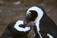 黑色有脚的企鹅 图库摄影