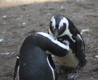 黑色有脚的企鹅 库存照片