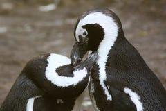 黑色有脚的企鹅 免版税库存照片