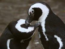 黑色有脚的企鹅 免版税库存图片