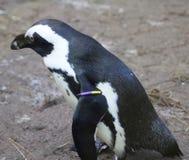 2黑色有脚的企鹅 免版税库存照片