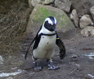 2黑色有脚的企鹅 库存照片