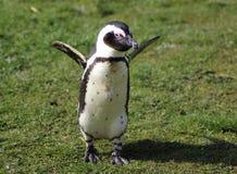 2黑色有脚的企鹅 免版税图库摄影
