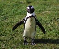 2黑色有脚的企鹅 图库摄影