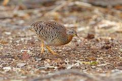 黄色有腿的泰国的Buttonquail鹌鹑类tanki公逗人喜爱的鸟 免版税库存图片