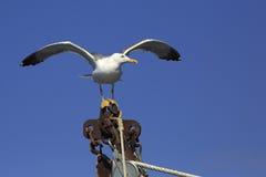 黄色有腿的鸥(鸥属michahellis)在船 免版税库存图片