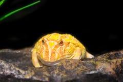 黄色有角的青蛙 库存图片