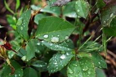 绿色有雨珠的玫瑰叶子特写镜头  免版税库存图片