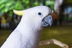 黄色有顶饰美冠鹦鹉的关闭 库存照片