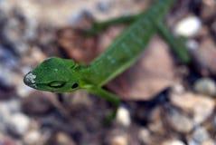 绿色有顶饰蜥蜴, Semenggoh储备,沙捞越,婆罗洲,马来人 库存照片
