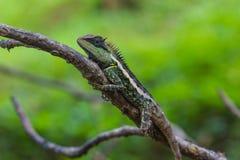 绿色有顶饰蜥蜴,黑体字蜥蜴 图库摄影