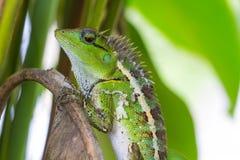 绿色有顶饰蜥蜴,黑体字蜥蜴 库存图片