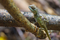 绿色有顶饰蜥蜴,黑体字蜥蜴 免版税库存图片