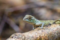 绿色有顶饰蜥蜴,黑体字蜥蜴 免版税库存照片