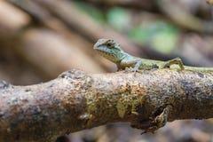 绿色有顶饰蜥蜴,黑体字蜥蜴 免版税图库摄影