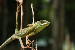 绿色有顶饰蜥蜴(Bronchocela cristatella) 免版税库存图片