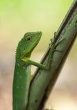 绿色有顶饰蜥蜴- Bronchocela cristatella 从Mulu国家公园的野生动物在马来西亚,婆罗洲 库存图片