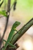 绿色有顶饰蜥蜴- Bronchocela cristatella 从Mulu国家公园的野生动物在马来西亚,婆罗洲 免版税图库摄影