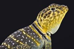 黄色朝向的抓住衣领口的蜥蜴(Crotaphytus collaris auriceps) 免版税库存图片