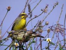 黄色朝向的金丝雀(雀类mozambicus) 库存照片