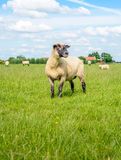 黑色朝向的绵羊转动它的头 免版税库存图片