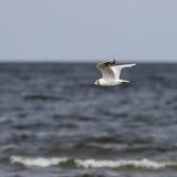 黑色朝向飞行在海的鸥 图库摄影
