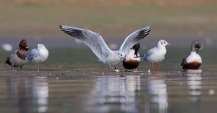 黑色朝向鸥/chroicocephalus ridibundus。 图库摄影