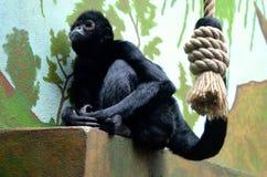 黑色朝向猴子蜘蛛 免版税库存照片