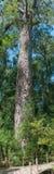 1000年黄色木材树 免版税库存照片