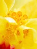 黄色木槿花 免版税库存图片