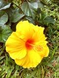 黄色木槿花 免版税图库摄影
