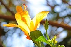 黄色木槿花 库存照片