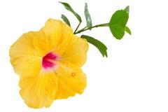 黄色木槿,在白色的热带花 库存图片