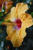 黄色木槿 免版税库存图片