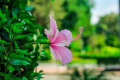 紫色木槿 免版税库存照片