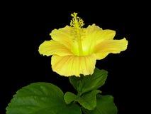 黄色木槿 图库摄影