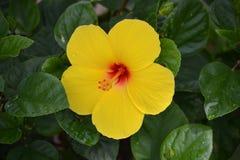 黄色木槿 免版税图库摄影