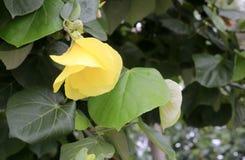 黄色木槿tiliaceus (多孔黏土rgb) 库存照片