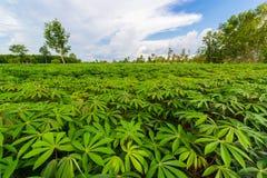 绿色木薯领域 免版税库存图片