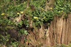 黄色木头开花银莲花属生长在一个老残余部分的银莲花属ranunculoides 免版税图库摄影