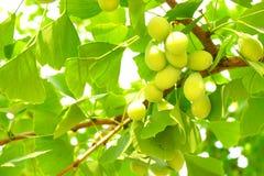 绿色未加工的银杏树和叶子 免版税库存图片