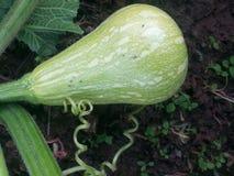 绿色未成熟的南瓜 库存照片