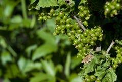 绿色未成熟的无核小葡萄干 库存图片